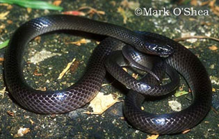 Common ground snake