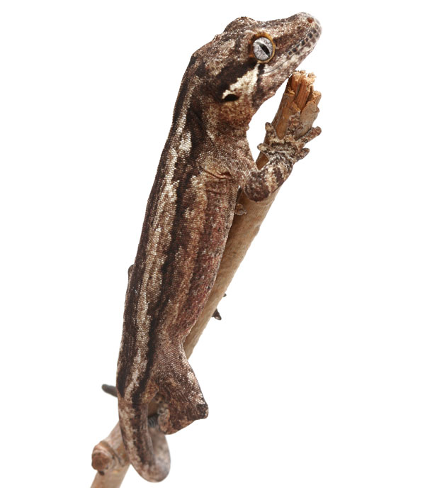 Which Gecko Species Is Right For You Reptiles Magazine