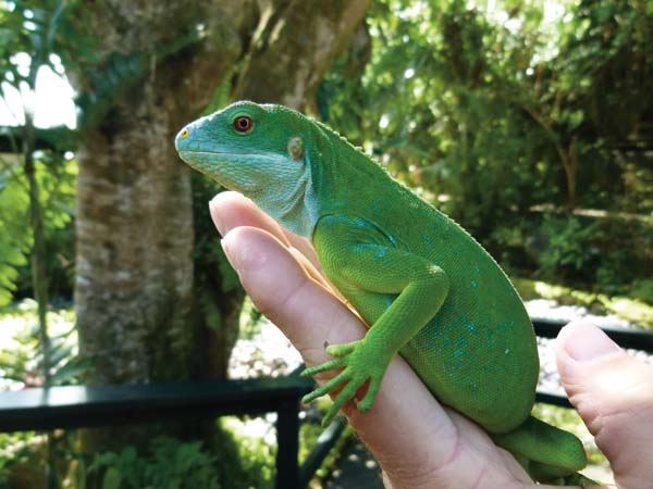Seeking Out The Fiji Crested Iguana - Reptiles Magazine
