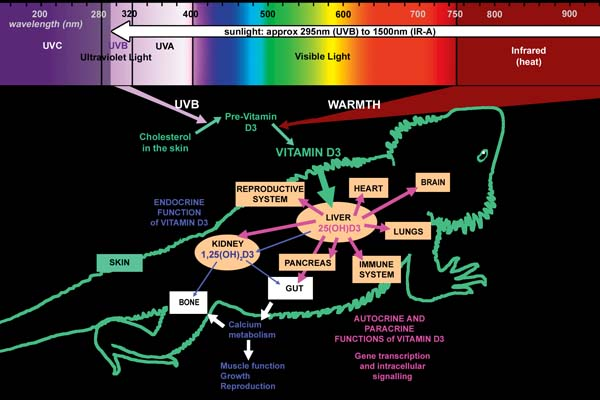 The vitamin D3 pathway.