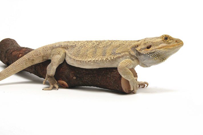 bearded dragon baby food