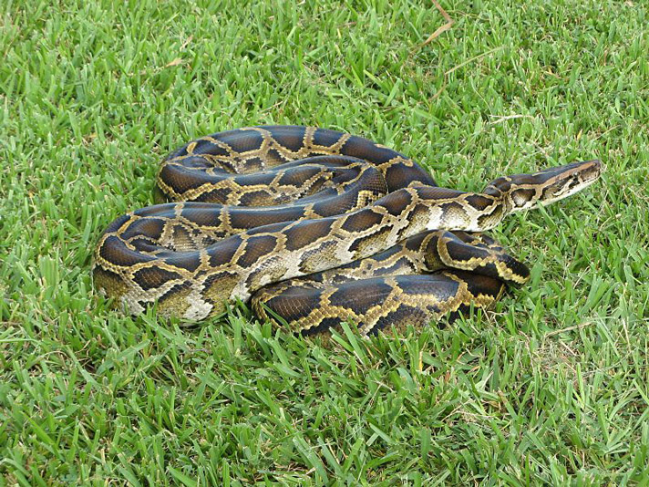 Burmese pythons are invasive species in Florida