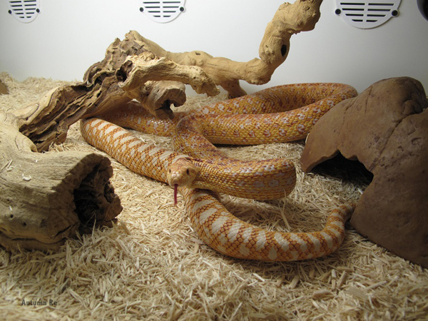 Provide a nice hide for your gopher snake
