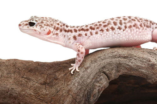 Mac snow leopard gecko