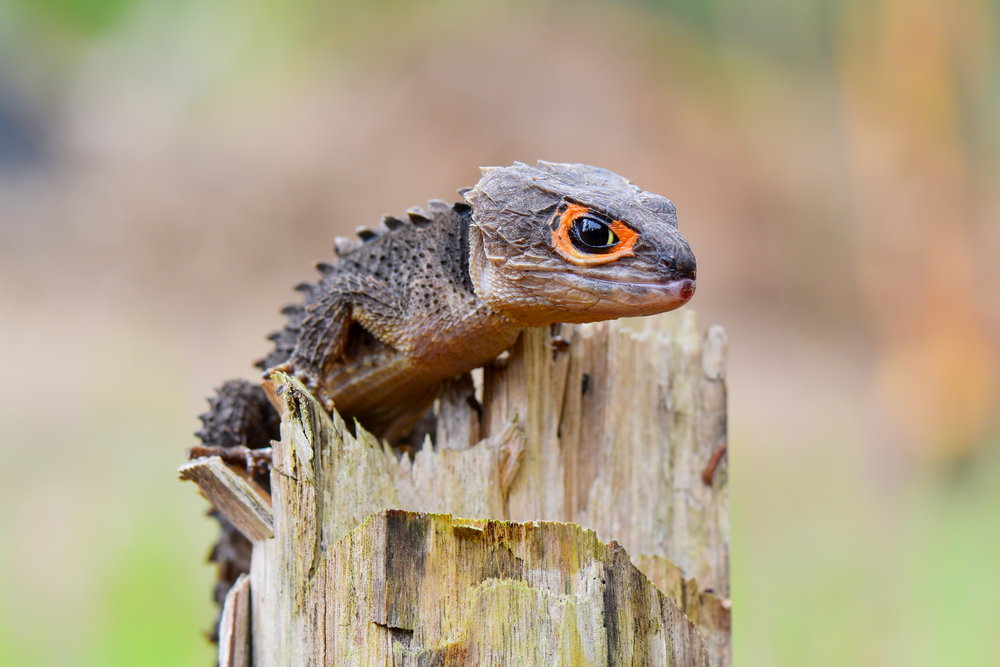 Red-Eyed Crocodile Skink Care And Information - Reptiles Magazine