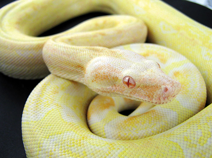 Sharp albino boa