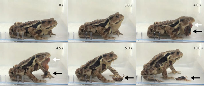 Bufo japonicus eating bombardier beetle then vomiting it