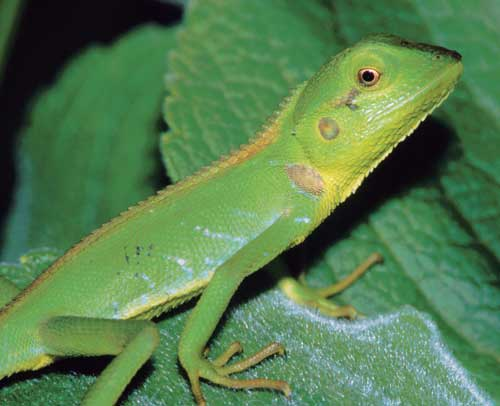 ave a look on the hedges in Nuwara Eliya, and you will find beautiful lizards like this young Calotes nigrilabris.