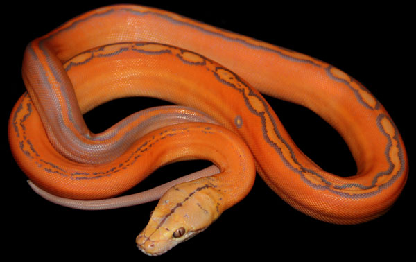 Coral sunglow reticulated python