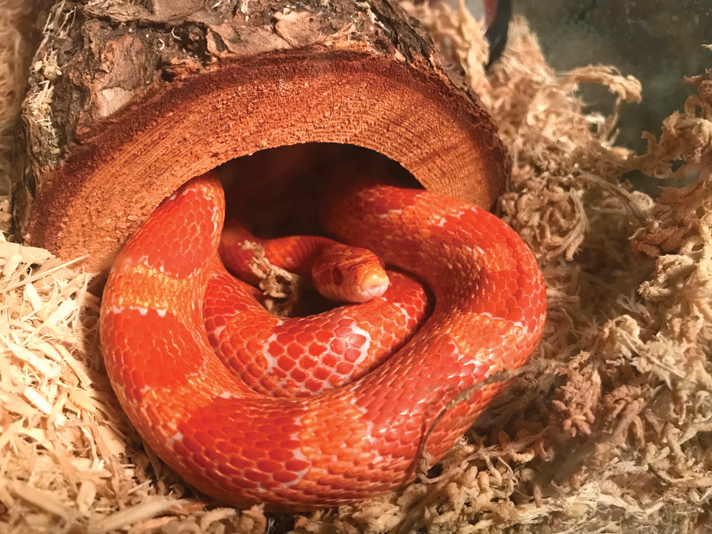 10 Popular Snakes For Reptile Keepers Reptiles Magazine