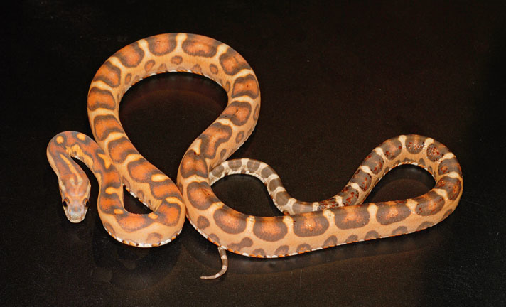 How To Choose And Care For A Corn Snake Reptiles Magazine Snake zoo offered on alibaba.com are made from the finest quality materials that have undergone. how to choose and care for a corn snake
