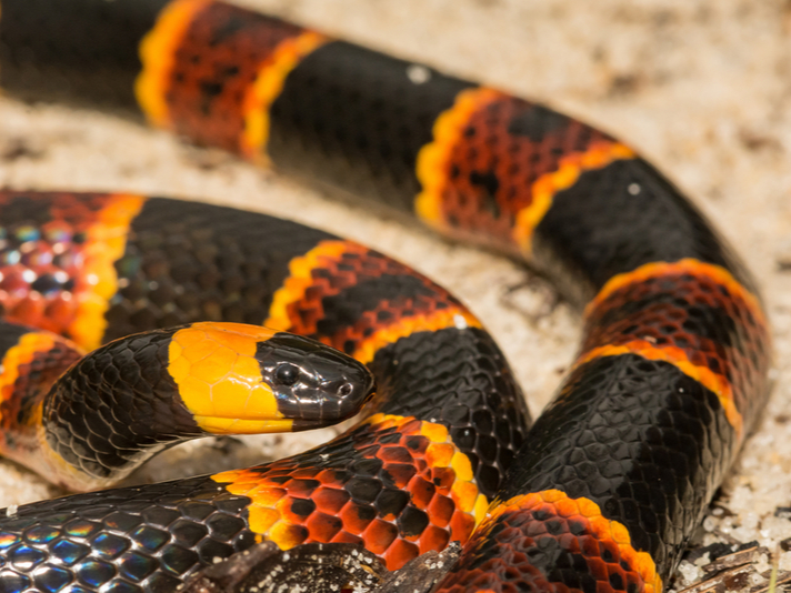Four People In Florida Bitten By Coral Snakes Reptiles