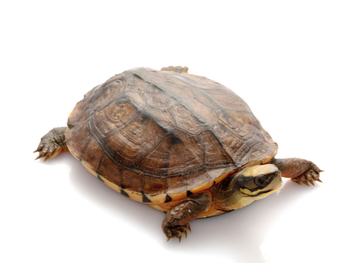 Golden Coin turtle