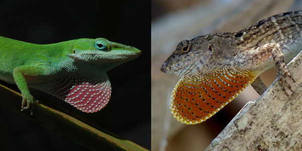green anoles climbed higher and evolved to avoid brown anoles
