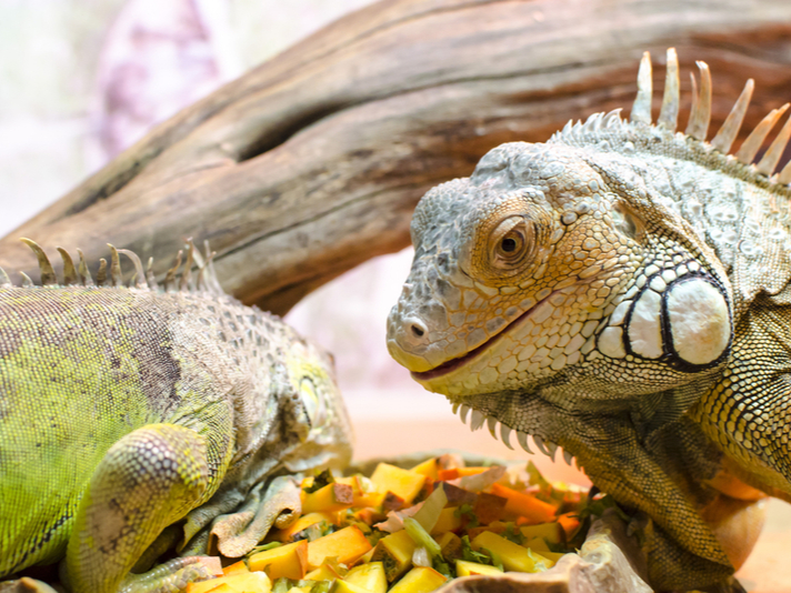 Green iguana eating