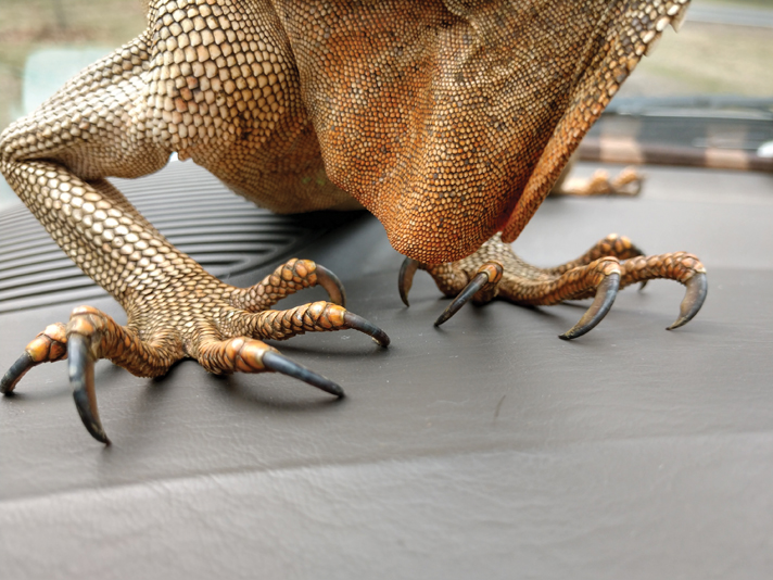 green iguana claws