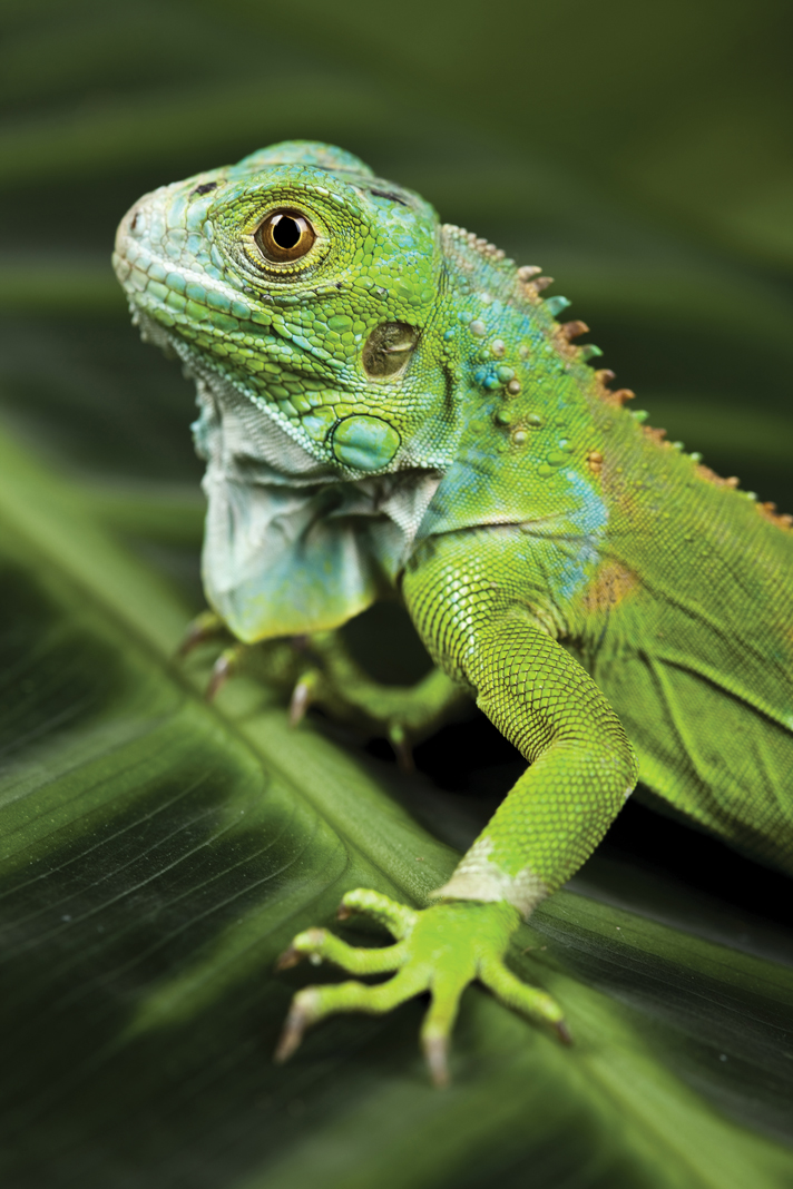 Caring For The Green Iguana - Reptiles Magazine