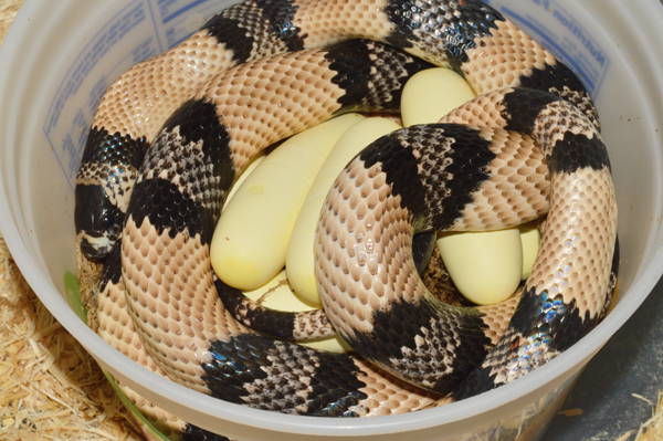 Honduran milksnake with eggs