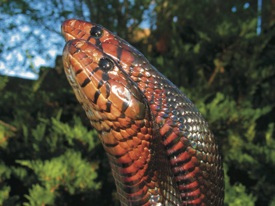 indigo snakes breeding