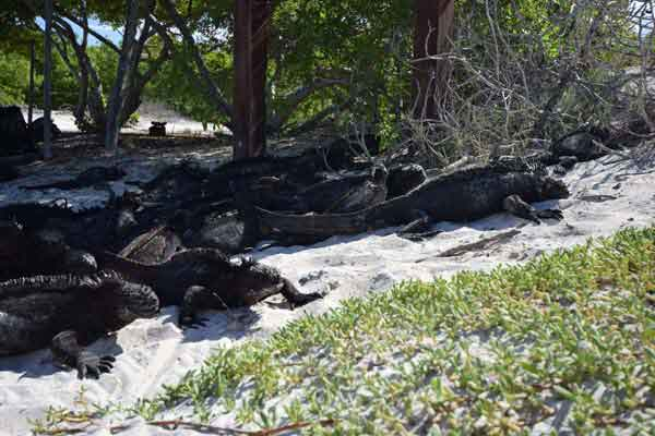 Marine Iguana at the Galapagos islands