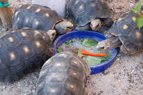 red-footed tortoises eating