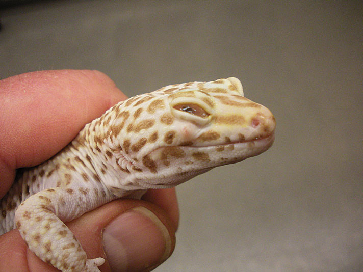 leopard gecko with abscess in eye.