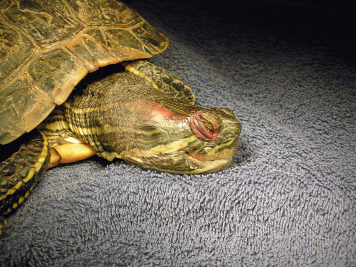 red-eared slider eye problems