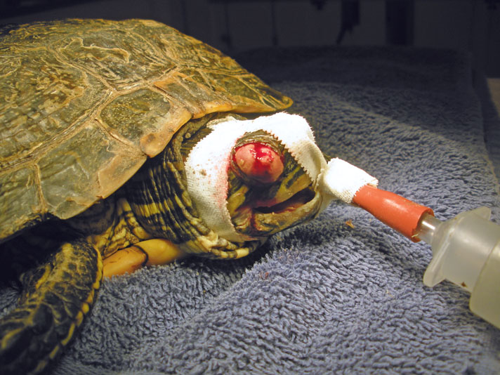 red-eared slider with eye problem