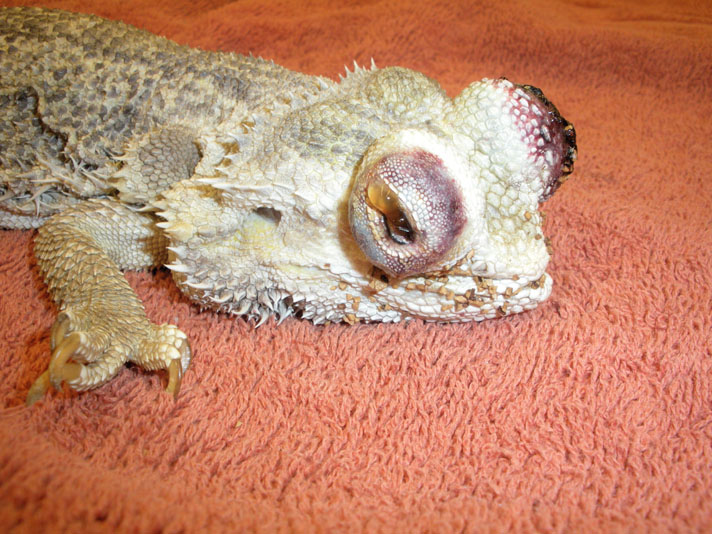 Bearded dragon with eyes damaged by crushed walnut shell.