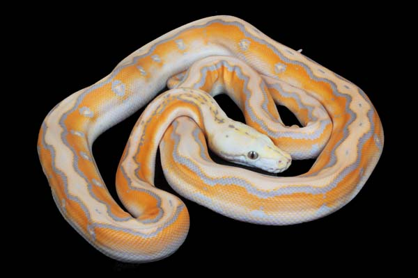 Reticulated Python Care Tips Reptiles Magazine