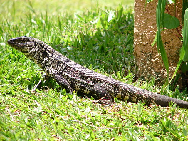 Tegu lizards would be banned if new bill in Florida signed into law.