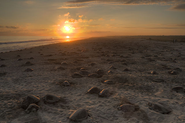 Sea turtles nesting in Mexico
