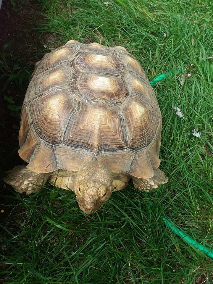 Spike the missing tortoise
