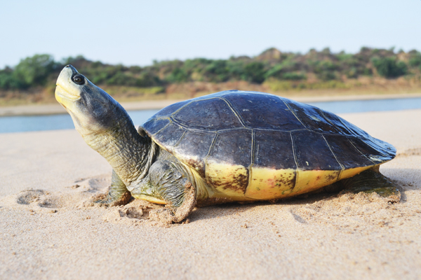 Northern river terrapin on the beach