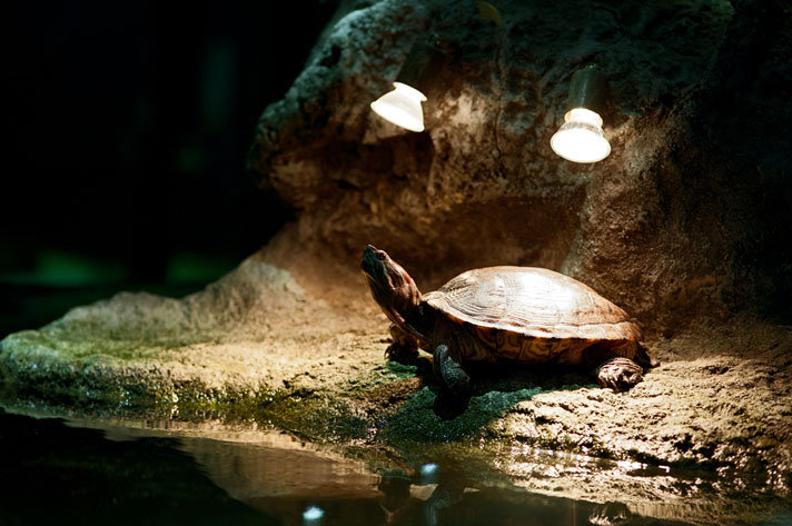turtle basking under heat lamps