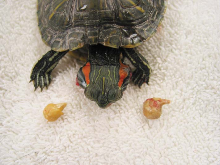 infected material removed from a turtle's ears.