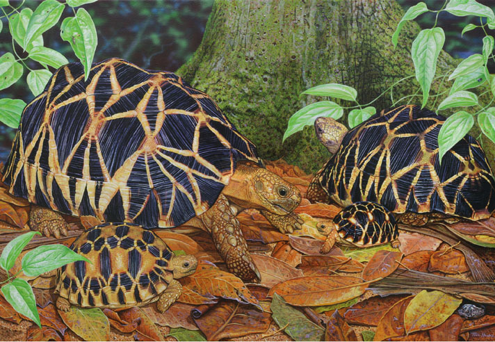 Tell Hicks painting of Burmese star tortoises