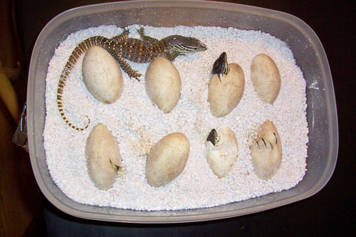 argus monitor hatchlings