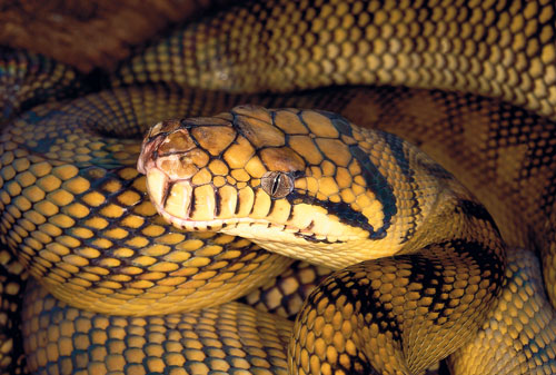 Changes in habitat can trigger the beginning of breeding for the Amethystine Python