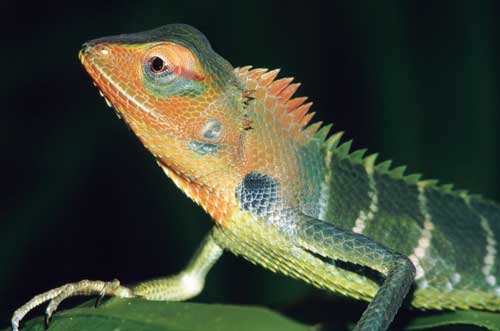 A male Calotes calotes displays coloration intended to attract females.