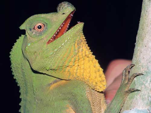The largest agamid lizard of Sri Lanka is Lyriocephalus scutatus. This colorful species can be found in rain forests.